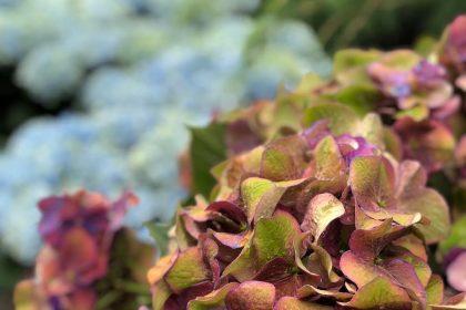 梅雨 紫陽 花 雨 季節